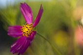 Cosmos, Side view of pink coloured flower growing outdoor showing stamen.