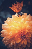 Marigold, Calendula, Orange flower growing outdoor covered in water droplets.
