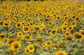 Sunflower, Helianthus, A field of sunflowers near Sandeep in the Dordogne, France