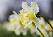 Daffodil, Narcissus, A row of dafodils growing outdoor.
