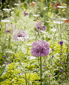 Allium, Allium Giganteum, Giant alliums in a garden meadow of wild flowers.