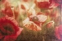 Poppy, Papaveraceae, Creative image of poppies in a field in Watchfield, near Swindon, Wiltshire.