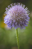 Scabious, Scabiosa, Close up of scabious growing in wild flower meadows.