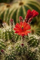 Cactus, Hyacinthoides Non-Scripta, Flowering cacti close-up showing red flower.