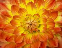 Dahlia,  Comositae, Close up of a heart of a flawless Dahlia.