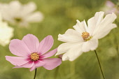 Cosmos, Pink & white flowers growing outdoor in the borders of a walled garden.