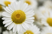 Daisy, Shasta Daisies, Leucanthemum Maximum, Close up detail of flower in bloom showing white pets and yellow stamen.