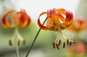 Lily, Tiger Lily, Lilium Lancifolium, Close-up of flower growing outdoor showing petals and stamen.