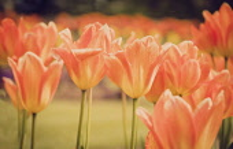 Tulip, Tulipa, Orange coloured flowers growing outdoor showing petals.