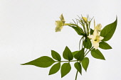 Honeysuckle, Lonicera Periclymenum, Studio shot of yellow flower against white background.