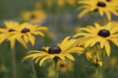 Rudbeckia, Golden Cone Flowers, Rudbecka, Side view of flowers with yellow petals and dark stamen growing outdoor.
