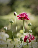 Poppy, Papaver Somniferum, Red coloured Opium poppy heads and opened poppies growing outdoor.