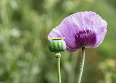 Poppy, Papaver, Mauve coloured flower and Poppy heads growing outdoor.