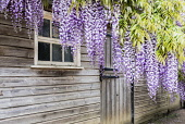 Wisteria, Wisteria Sinensis, Fabaceae, Leguminosae, Hanging wisteria outside wooden sheds.