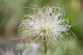 Apache Plume, Fallugia Paradoxa, Covered in water droplets  after a shower of rain.