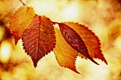 Beech, Fagus sylvatica, Colourful autum Beech leaves.