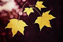 Maple Leaf, Cappadocian Maple, Yellow leaves in autumn.