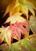 Acer, Japanese Maple, Acer Palmatum, Colourful autum leaves.