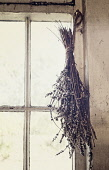 Lavender, Lavandula, A tied bunch of dried flowershanging from a window in an outhouse.