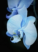 Orchid,  Orchidaceae,  Close up of blue dyed flowers.