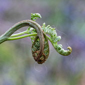 Fern, Polypodiopsida, Sleepy fern unfurling.