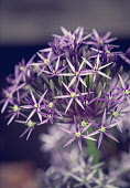 Allium, Allium 'Star of Persia', Allium Christophii, Close up detail of the flower growing outdoor.