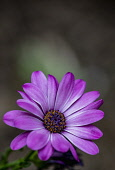 Dasiy, Purple River Daisy, Osteospermum Barneiae, Close-up of mauve coloured flower growing out door showing stamen and petals.