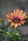 Osteospurmum, Orange African Daisy, Orange African daisies growing outdoor showing stamen and petals.