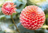 Dahlia, Dahlia 'Pom Pom', Close-up of orange coloured flower showing globe shape and petal pattern.