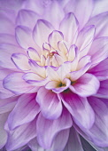 Dahlia, Close-up of Lilac & Cream coloured flower growing outdoor.