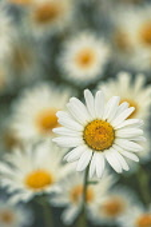 Daisy, Ox-Eye Daisy, Moon Daisy, Leucanthemum Vulgare, Close-up of flower showing white petals and yelow stamen.