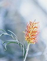 Rosemary, Rosemary Grevillea, Grevillea Rosmarinifolia subsp. Rosmarinifolia, Flowering herb growing outdoor.