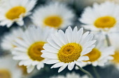 Daisy, Ox-Eye Daisy, Moon Daisy, Leucanthemum Vulgare, Close-up of flower showing white petals and yelow stamen.