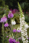 Black Mullein, Verbascum Nigrum, Spire shaped flowers growing outdoor with water droplets.