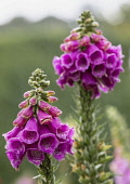 Foxglove, Digitalis, Spire shaped flowers growing outdoor in garden covered in water droplets.