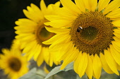 Sunflower, Helianthus, Bee on yellow flower growing outdoor.