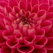 Dahlia, Close-up of red coloured flower showing petal pattern.