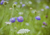 Scabious, Scabiosa, Close-up of mauve coloured flower growing in wild meadow.
