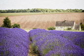 Lavender, Lavdendula, Rows of purple coloured flowers growing outdoor on farm.
