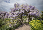 Wisteria, Mauves coloured flowers gowing outdoor as arch in a garden.