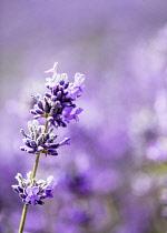 Lavender, Lavandula, Mauve coloured flowers growing outdoor.