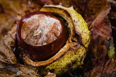Horsechestnut, Aesculus Hippocastanum, Conkers emerging from their shells nestled amongst fallen autumn leaves.
