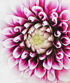 Dahlia, Close-up detail of purple coloured flower showing petal pattern.