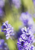 Lavender, Lavandula, Mauve coloured flowers growing outdoor.