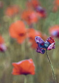 Poppy, Papaveraceae, Red colured flowers growing in a field.
