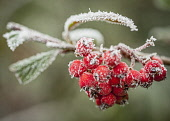 Hawthorn, Crataegus, Frosty berries on a cold winter morning.
