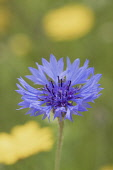 Bachelors Button, Centaurea Cyanus, Mauve coloured flower growing outdoor in a meadow.