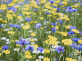 Bachelors Button, Centaurea Cyanus, A field of English meadow flowers, including Bachelor Buttons, cornflowers and assorted varieties of daises.