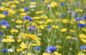 Daisy, Yellow flower growing outdoor in a field of English meadow flowers, including Bachelor Buttons, cornflowers and assorted varieties of daises.