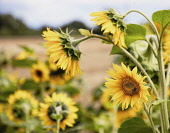 Sunflower, Helianthus, Yellow coloured flowers growing outdoor.